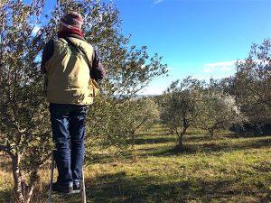 Tailes d'oliviers Paysagiste Matheiu Goudou
